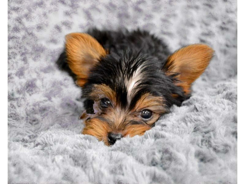 Yorkshire Terrier Puppies For Sale Fetch
